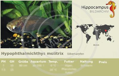 Etiketten von hypophthalmichthys molitrix for Welse teichfische