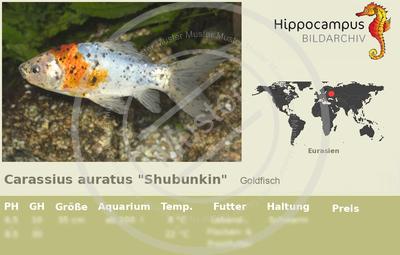 Etiketten von carassius auratus shubunkin for Welse teichfische
