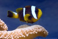 Amphiprion chrysogaster()