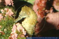 Hippocampus capensis