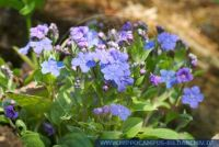 Blue-eyed Mary Omphalodes