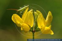 Lotus uliginosus, Sumpf-Hornklee, Greater Bird's-foot Trefoil