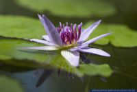 Nymphaea stellata,Blaue Seerose,Red and Blue Water Lily