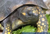 Geochelone denticulata,